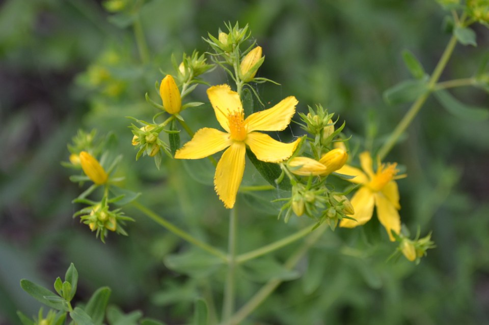 the use of st johns wort In humans, it has been used as a sedative, anti-inflammatory, topical analgesic, and antiseptic it also is used to treat anxiety and to improve the.